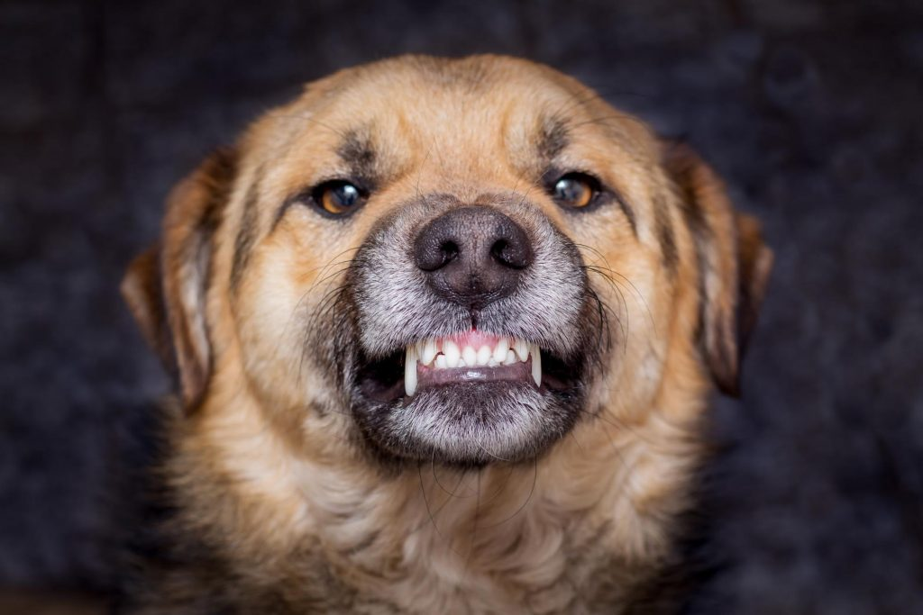 Close up photo of a dog growling and baring teeth. A threatened or cornered dog may lash out an attack out of fear. A Louisville pit bull attorney can help with dog bite claims.