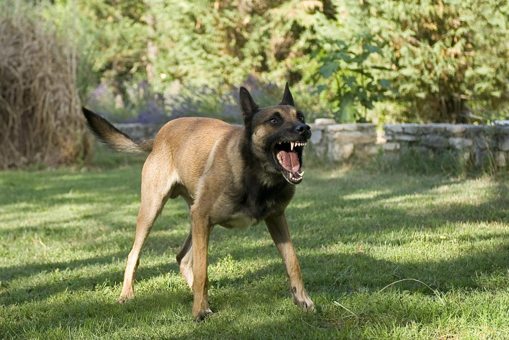 An angry dog barking and showing its teeth.