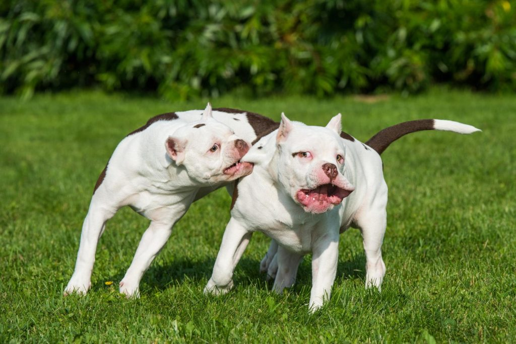 Two pit bull puppies wrestle and bite one another.