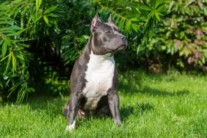 An alert grey and white pit bull sitting on a grass lawn. A Louisville pit bull attorney can help if you have been injured by a pit bull or other dog.